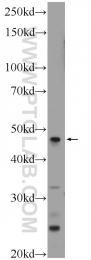 25783-1-AP - LRP2-binding protein / LRP2BP