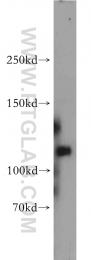 55048-1-AP - MAGI1 / BAIAP1