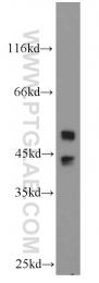 51153-1-AP - MAPK9 / JNK2