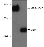 15089-1-AP - Maltose Binding Protein Tag / MBP-Tag