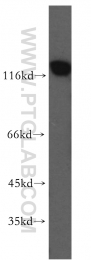 10513-1-AP - MCM2