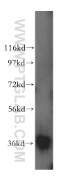 15904-1-AP - MDH1