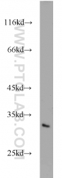 10267-1-AP - MEA-1