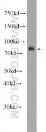 24640-1-AP - Meprin A alpha