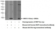 60055-1-Ig - Matrix Gla Protein