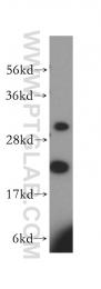 16241-1-AP - MRPL13