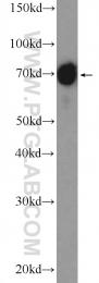 26053-1-AP - Moesin