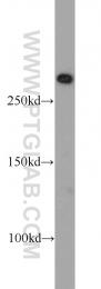 20657-1-AP - mTOR / FRAP1