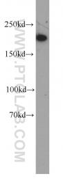 60222-1-Ig - Myosin-11