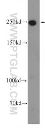 24565-1-AP - Myosin-X
