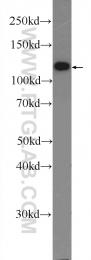 55075-1-AP - SLC8A1 /  NCX1