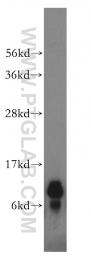 16480-1-AP - NDUFA4L2