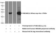 12257-1-AP - NECAB2