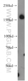 20246-1-AP - Neogenin