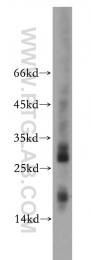 20493-1-AP - NDP kinase B / NME2