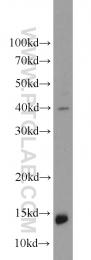 10440-1-AP - Neurogranin