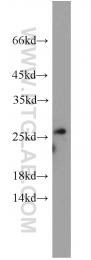 17574-1-AP - Neurensin 2