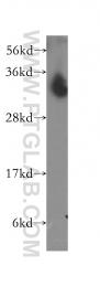 11154-1-AP - NTH1