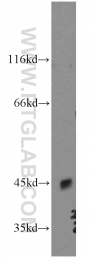 12970-1-AP - Nociceptin receptor / OPRL1