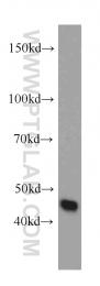 13130-1-AP - ORAI1
