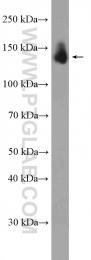 13514-1-AP - OXR1