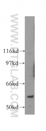 13539-1-AP - PAK6