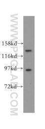16427-1-AP - USP52 / PAN2