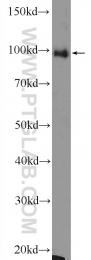 12422-1-AP - ALIX / PDCD6IP