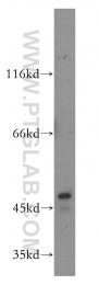 18262-1-AP - PDK1