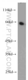 10530-1-AP - PDLIM5