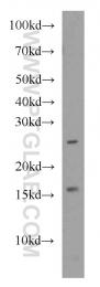 16968-1-AP - PDRG1