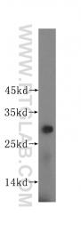 16126-1-AP - PGAM1