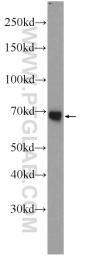 23029-1-AP - PGLYRP2