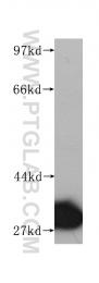 60092-1-Ig - Prohibitin / PHB