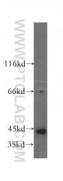 16743-1-AP - PHKG1 / PHKG