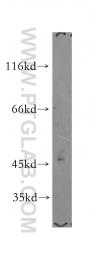 15318-1-AP - PI4K2A