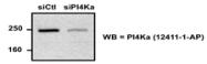 12411-1-AP - PI4KA