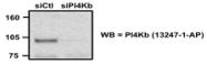 13247-1-AP - PI4KB