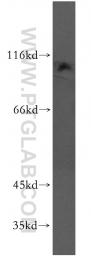 13723-1-AP - PIK3C3