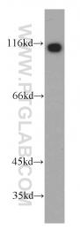 55036-1-AP - PIK3R3