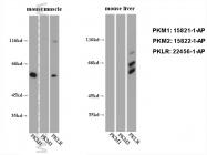 15822-1-AP - PKM2