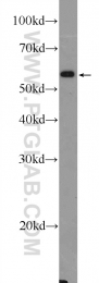 18018-1-AP - PLAG1