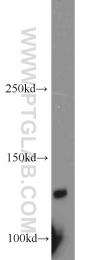 13045-1-AP - PLEKHA5