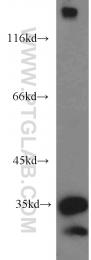 11582-1-AP - Scramblase 1 / PLSCR1
