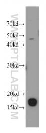 11658-1-AP - PPP1R14A