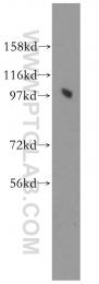 11623-1-AP - PRKD2 / PKD2