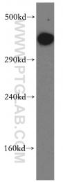 19983-1-AP - DNA-PKcs / PRKDC / XRCC7
