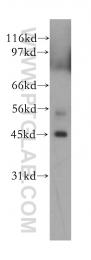 12557-1-AP - PRMT8 / HRMT1L3