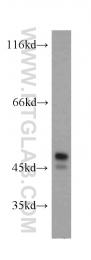 11334-1-AP - PTPN1