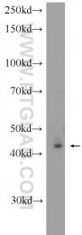 22163-1-AP - Peroxin 2 / PEX2 / RNF72